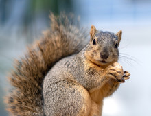 A Wild Squirrel With A Furry T...