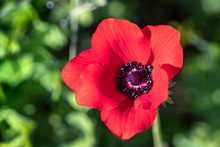 Head Of A Single Red Anemone Flower Close Up On A Blurred Green Background