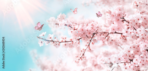Stampa su Tela Branches of blossoming cherry against background of blue sky and fluttering butterflies in spring on nature outdoors