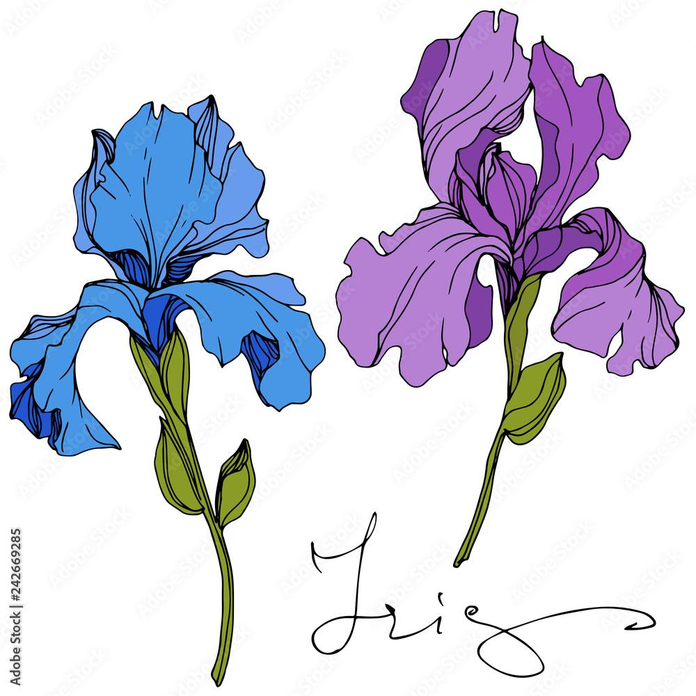 Fototapeta Vector Blue and purple iris floral botanical flower. Engraved ink art. Isolated iris illustration element.