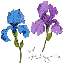 Vector Blue And Purple Iris Fl...