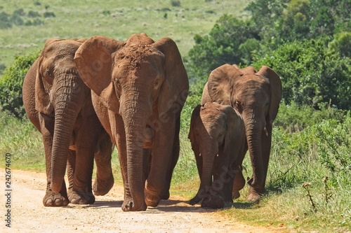 Fototapety, obrazy: Family of elephants walking on a gravel road