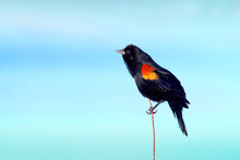 Redwing Blackbird On Reed With Blue Sky