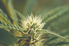Detail Of Cannabis Plant Flowe...
