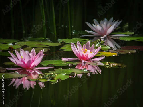 Fototapeta Three beautiful pink water lilies or lotus flowers Marliacea Rosea in the magic pond