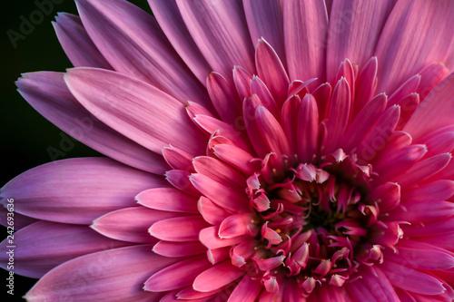 Pink barberton daisy Canvas Print