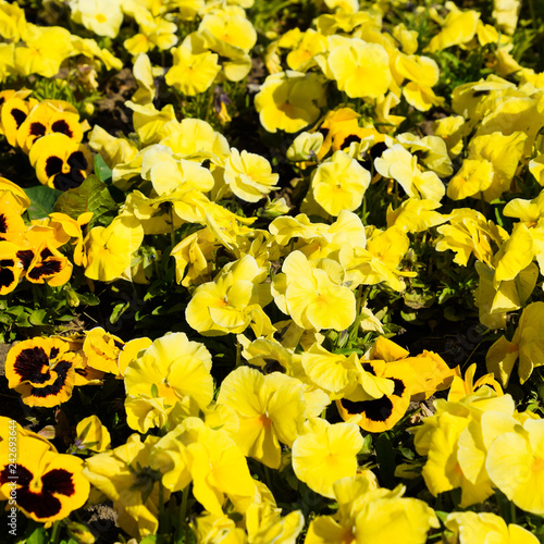 Fotografie, Obraz  Yellow flowers of viola on the flowerbed. Viola.
