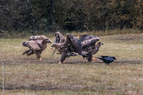 Foto auf Gartenposter Reisfelder White tailed eagle (Haliaeetus albicilla) europe attack.