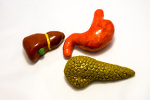 Organs Of Gastrointestinal Tra...