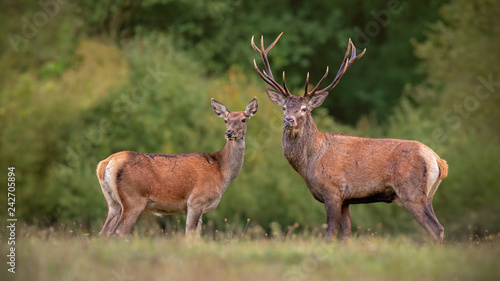 Obraz na plátne  Red deer, cervus elpahus, couple in autum during mating season