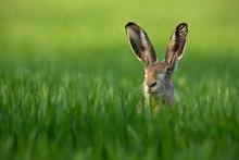 Lepus. Wild European Hare, Lep...