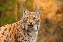 Adult Eursian Lynx In Autmn Fo...