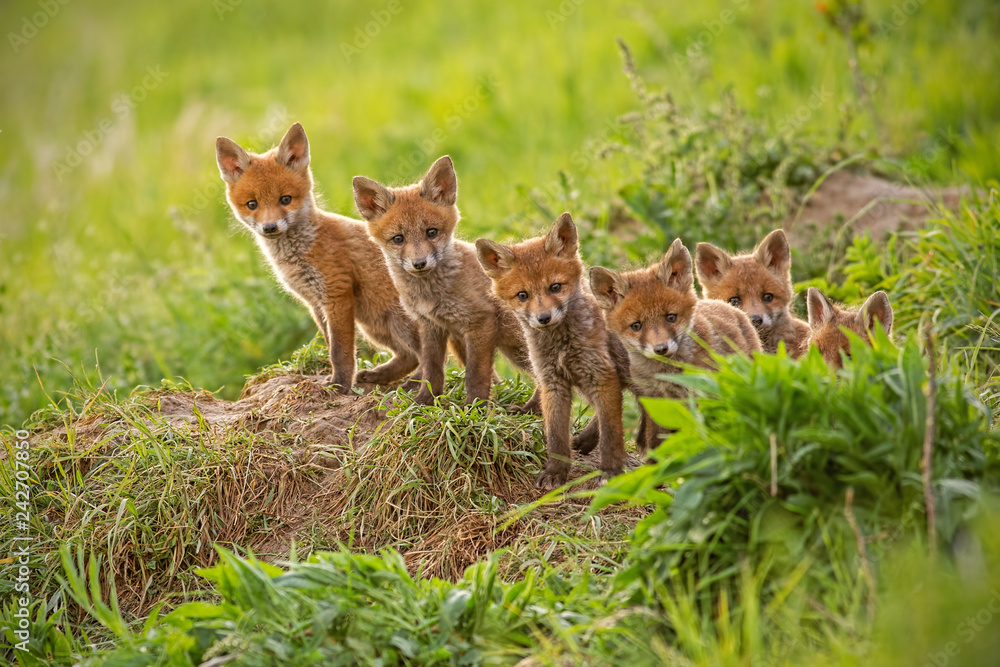 Fototapety, obrazy: Red fox, vulpes vulpes, small young cubs near den curiously weatching around. Cute little wild predators in natural environment. Brotherhood of animlas in wilderness.