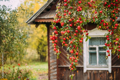 Branch Hung With Red Small Apples On Background Of Old Wooden Ho