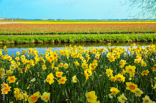Yellow daffodils. Spring Dutch landscape.