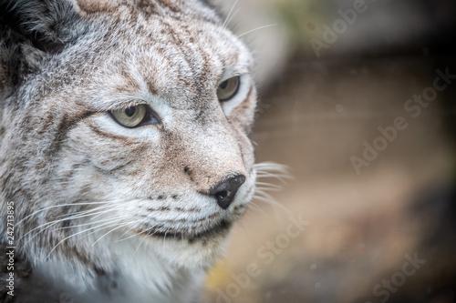 Foto auf Leinwand Luchs Portrait d'un lynx
