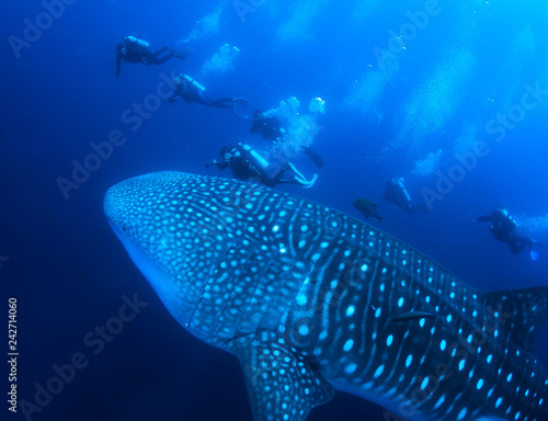 Gigantic Whale Shark and divers.