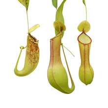 Pitcher Plants Isolated On White Background