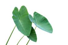 Green Leaves Of Elephant Ear P...