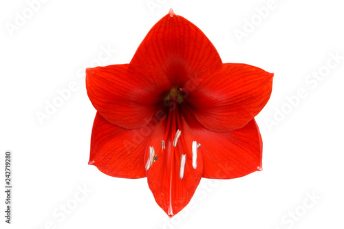 Blooming Red Hippeastrum, Amaryllis Flower Isolated on White Background Canvas Print