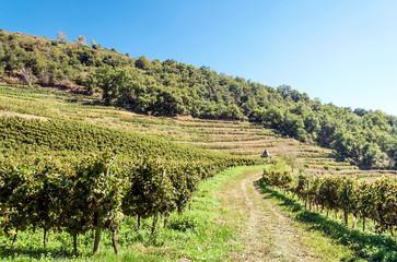 Fototapeta na wymiar Vineyards in languedoc in france in sunny day