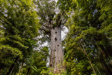 Tane Mahuta, The Lord Of The Forest: The Largest Kauri Tree In Waipoua Kauri Forest, New Zealand.