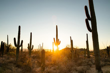 View Of Saguaro Cactus Against Clear Sky During Sunset