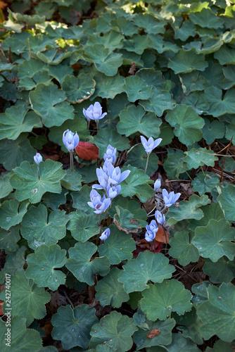 Valokuvatapetti Colchium autunnale and Alchemilla mollis