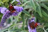 Fototapeta Zwierzęta - Motyle  i budleja Dawida