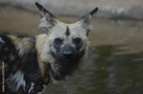 Fotografía  Portrait of an African wild dog in Kruger national park