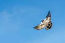 Flying Carrier Pigeon With A  Blue Sky As Background