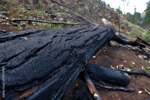 Fotografiet  Cutting and burning of eucalyptus trees cut and thrown on the road, a destructiv