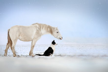 Dog Border Collie And White Horse Best Friends Beautiful Winter Portrait Magic Look