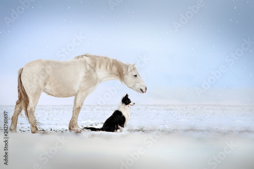 najlepszy-pies-rasy-border-collie-i-bialy-kon