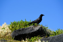 A Black Bird, The Australian R...