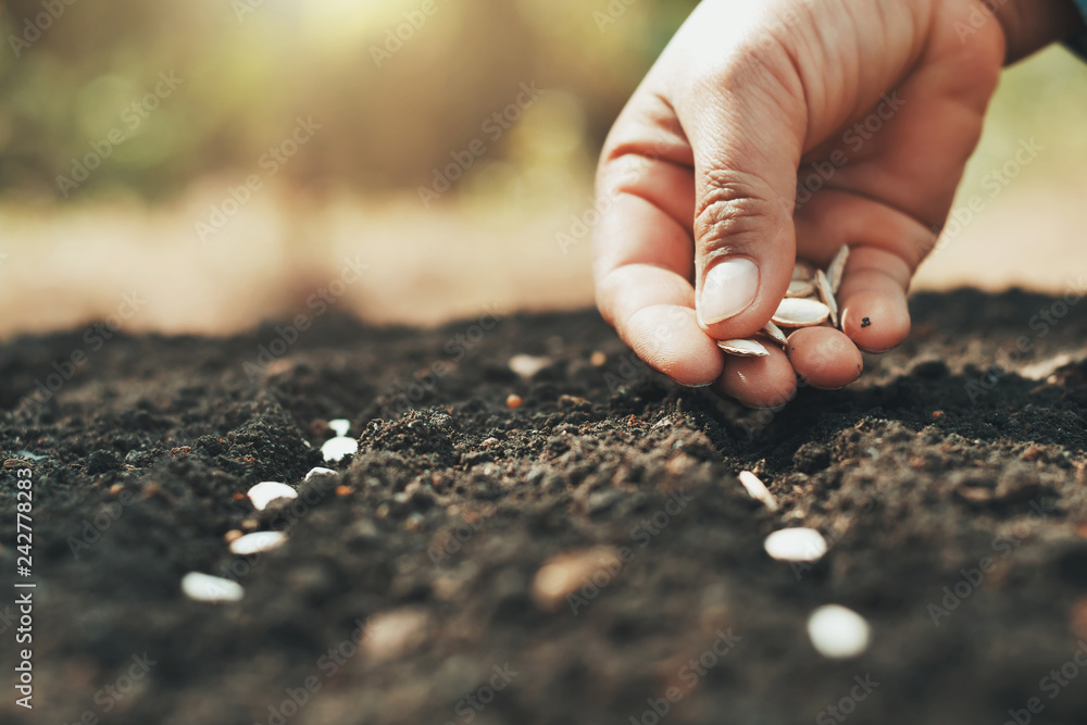 Fototapety, obrazy: hand planting pumpkin seed in the vegetable garden and light warm. agriculture concept