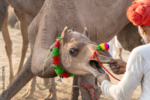 Indian man and herd camels during Pushkar Camel Mela, Rajasthan, India