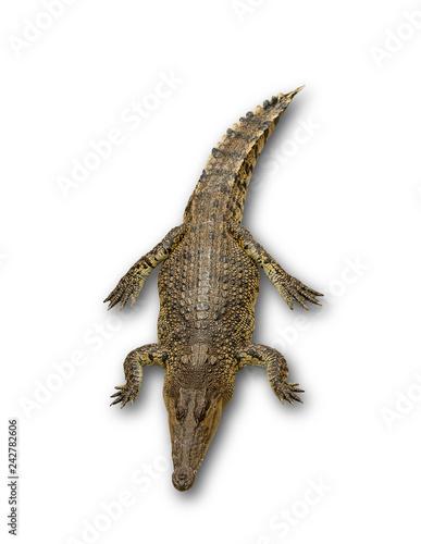 Close up big crocodile isolated