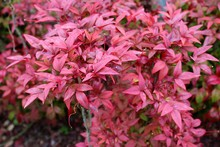 Nandina, Heavenly Bamboo Tree Red Leaves Variety