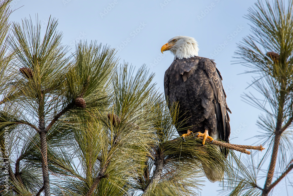 Eagle on branch in north Idaho.