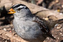 Close Up Of White-crowned Sparrow Eating Seeds Off The Ground