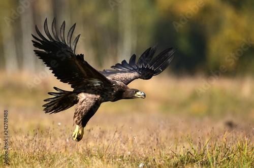 Garden Poster Eagle White tailed eagle (Haliaeetus albicilla)