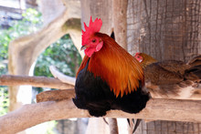 Young Asian Rooster In The Cou...