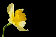 Yellow Daffodil Flowers Isolat...