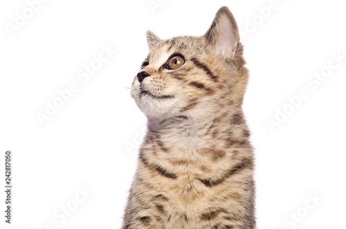 Portrait of a kitten Scottish Straight, closeup, looking up, isolated on white b Canvas Print