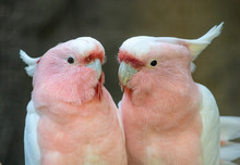 Lovely Couple Of Cockatoos. Cute Couple White And Pink Cockatoos Kissing And Making Love