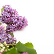 The beautiful lilac on white background. Place to insert text. Spring background. Flat, top view. Background for social networks.