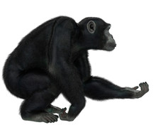 Chimpanzee In A White Background