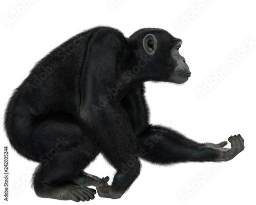 Canvas Print chimpanzee in a white background