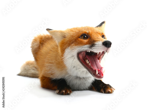 Photo Cute funny fox on white background
